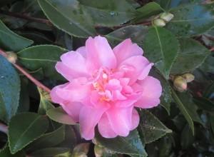 Camellia sasanqua spreaking pink